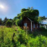 Puu on vallannut talon ja kasvaa talon sisältä, valokuva.