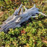 Puunkarahka lepää marjamättäällä syksyisessä metsässä, valokuva.